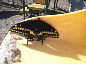 Male Black Swallowtail on the playground