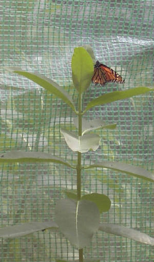 Monarch Mother